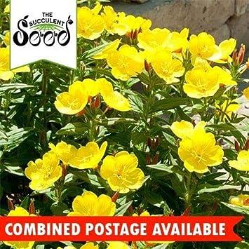 Portal Cool Evening Primrose - Common (4000 Seeds) Edible Plant & Flower Self Seeding BulkOnagra - Común (4000 semillas) Planta comestible y flor Auto siembra a granel