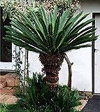 Sago Cycas Palm 10 Seeds Cycas revoluta