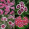 KOUYE GardenSeeds-100pcs Colorful Dianthus Seeds, Flower Seeds Seed Hardy Perennial Dianthus Seed Garden