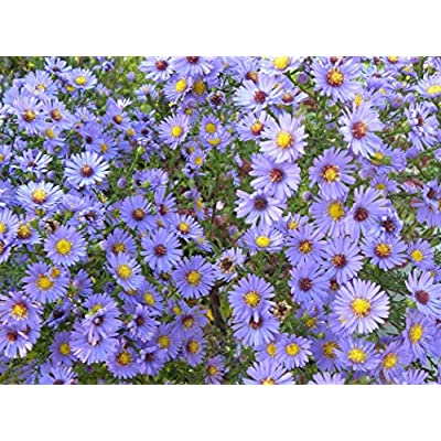 Smooth Blue Aster (Symphyotrichum laeve) Seed Balls - Bulk Seed Bombs for Guerrilla Gardening (50) : Garden & Outdoor