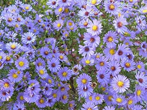 (Smooth Blue Aster (Symphyotrichum laeve) Seed Balls - Bulk Seed Bombs for Guerrilla Gardening (20))