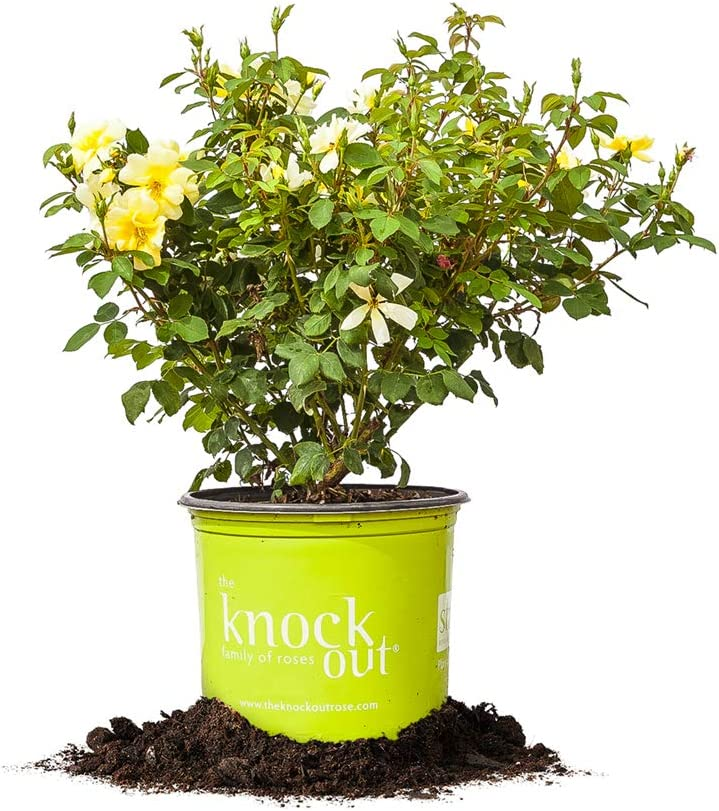 Perfect Plants Sunny Knock Out Rose 1 Gallon, Live Plant Includes Special Blend Fertilizer & Planting Guide Yellow