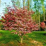 Pink Dogwood Trees