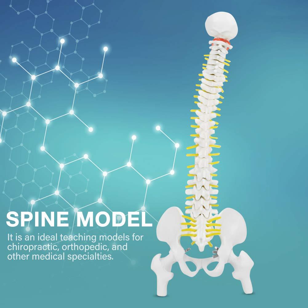Modelo de columna vertebral humana flexible extra/íble modelo 45cm para herramienta de aprendizaje de ense/ñanza de estudio de anatom/ía esquel/ética