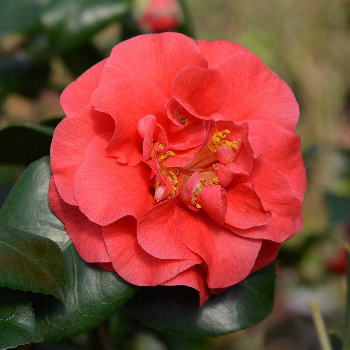 Outdoor Plants Hedges & Shrubs Camellia Lady Campbell Evergreen ...