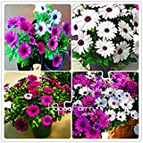 Big Promotion 100 Seeds A Lot African Blue Eyed Daisy Seeds Osteospermum seeds Garden Plant Bonsai Mix Flower