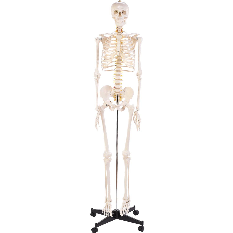 Nett Menschliches Skelett Anatomie Modell Bilder - Menschliche ...