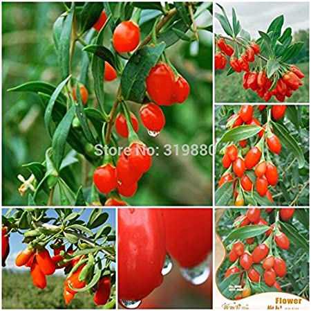 Amazon Com Al 400 Goji Berry Wolfberry Seeds Ning Xia Chinese