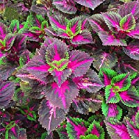TENGGO Egrow 100Pcs/Pack Coleus Semillas Rainbow Dragón Semillas Jardín japonés Plantas de follaje - 4