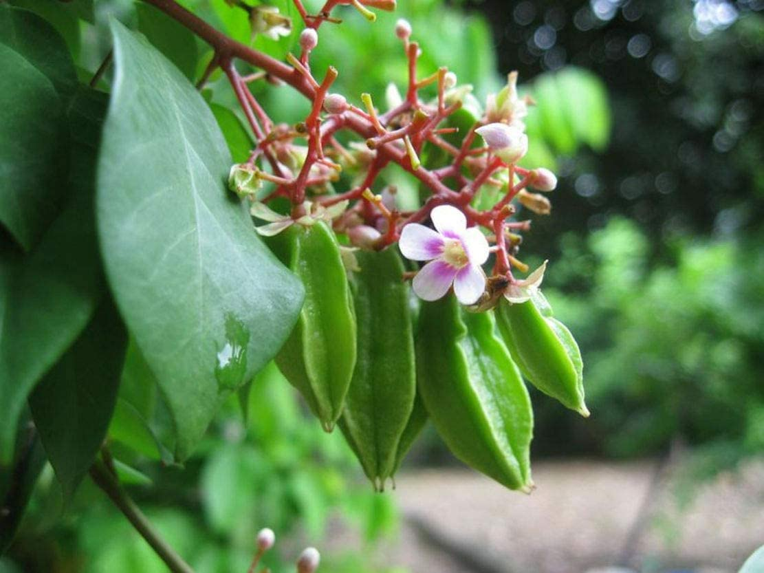Amazon Com Averrhoa Carambola Star Fruit Tree Seeds Small Good