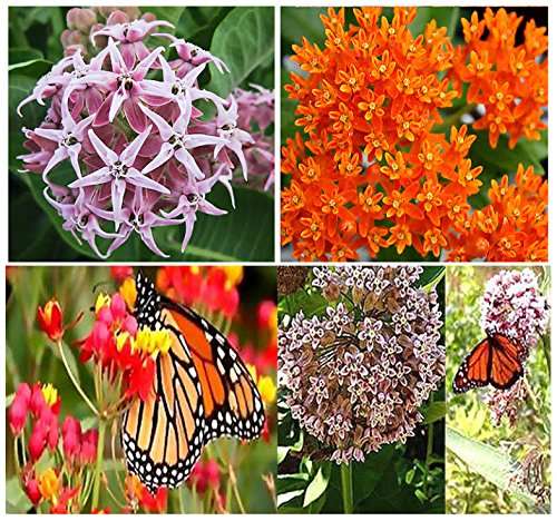 1 Set x Monarch Butterfly Seed Collection: Asclepias curassavica, Asclepias speciosa, Asclepias syriaca, Asclepias tuberosa - 200+ Butterfly Weed Milkweed SEEDS - By MySeeds.Co ()