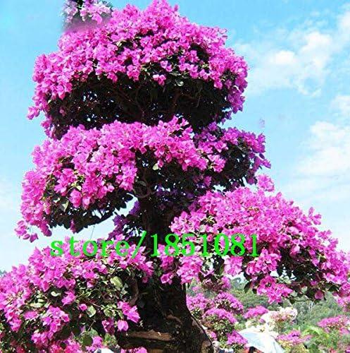 Venta grande raras Bonsai 12 variedades de Azalea semillas DIY Hogar y jardín Plantas forma de semillas de cerezo japonés Sakura de la flor del: Amazon.es: Jardín