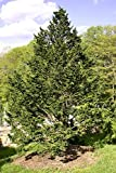"Eastern Hemlock – Canadian - Tsuga canadensis – Healthy Established Roots - 2 1/2"" Potted - 12 Plants by Growers Soltuion"