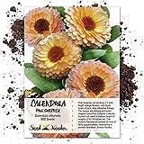 Seed Needs, Pink Surprise Calendula (Calendula officinalis) 500 Seeds