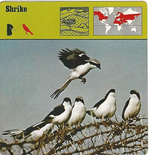 1975 Editions Rencontre, Animals Card, 01.14 Shrike (Shrikes Animals)