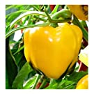 PREMIER SEEDS DIRECT - Sweet Pepper - ASTI Yellow - 150 Finest Seeds
