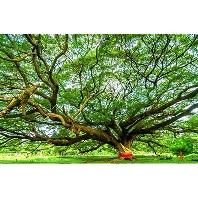 TARA-GARDEN 200 SEED MONKEY POD TREE RAIN TREE SAMANEA SAMAN STUNNING EXOTIC TREE VIABLE : Garden & Outdoor