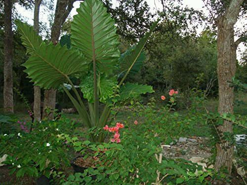 Alocasia plant, giant elephant ear plant,Palm, trees