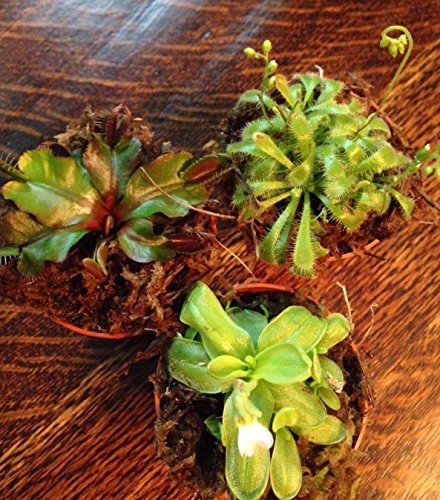 CARNIVOROUS TRIO (VENUS FLY TRAP, BUTTERWORT AND SUN DEW) 3- 2 1/4