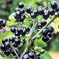 Huckleberry Bush Seeds (Solanum nigrum) 25+Seeds