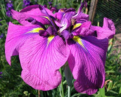 Japanese Iris - 2