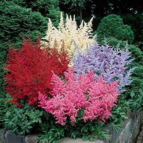 GARTHWAITE Nurseries : - 4 Mixed Astilbe Arendsii (Mixed Colours) Bare Root Perennial Garden Summer Perennial ()