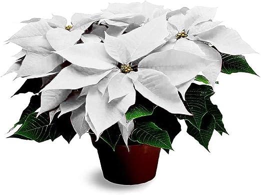 Stella Di Natale Costo.Pianta Natalizia Vera Ornamentale Stella Di Natale Bianca O 17 Cm H 70 Cm Amazon It Giardino E Giardinaggio