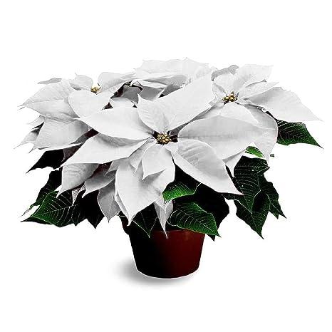 Stella Di Natale Bianca.Pianta Natalizia Vera Ornamentale Stella Di Natale Bianca O 17 Cm