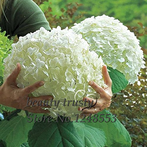 Promotion 100 pcs / bag White Hydrangea Flower seedsPure color lastinggorgeous balcony or yard flower plant