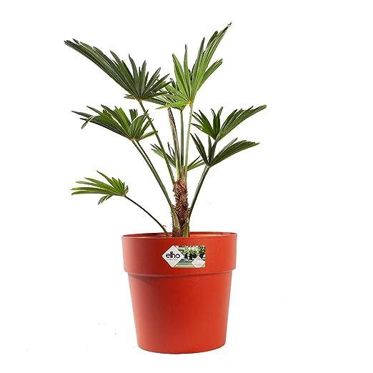 Piante Da Appartamento Amazon.Pianta D Appartamento Da Botanicly Trachycarpus Wagneriana Con