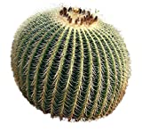 Golden Barrel Seeds - Echinocactus grusonii