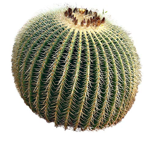 Barrel Cactus Seeds - Golden Barrel Seed Packet, 100 count