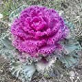 Edible Cabbage Decorativ Ornamental Fringed Seeds Beatiful Vegetable for Planting Giant Non GMO 50 Seeds