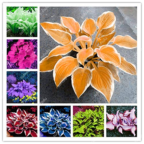 (200 pcs Colorful hosta Seeds, Fragrant Plantain Lily Grass Seeds Perennial Flower for Home Garden Ground Cover hosta Pot Plant: Mixed )