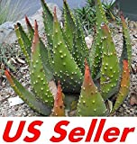 10 Seeds F105 Aloe Aculeata Seeds, Beautiful and Special Plants