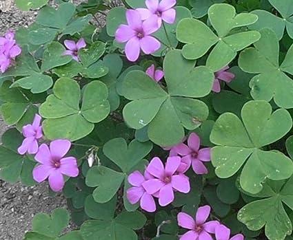 Amazon oxalis articulata shamrock 5 bulbs clover plant oxalis articulata shamrock 5 bulbs clover plant produces purple flowers mightylinksfo