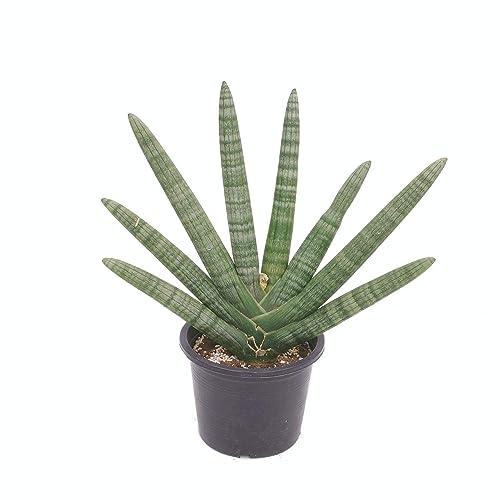 ピレア・ペペロミオイデスは、丸く大きな葉っぱが特徴的な観葉植物。幹立ちが珍しく、樹形もおしゃれ。どのような雰囲気の部屋にも合うため、机や棚のちょっとしたスペースにも飾りやすい。優しい雰囲気の観葉植物を探している方におすすめ。
