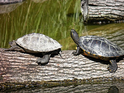 Home Comforts Peel-n-Stick Poster of Zoo Animal Nature Lyon Turtles Couple Animals Poster 24x16 Adhesive Sticker Poster Print