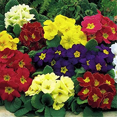 Cowslip Primrose 'Colossea Mix' (Primula Veris L.) Flower Plant Seeds, Perennial Heirloom : Garden & Outdoor