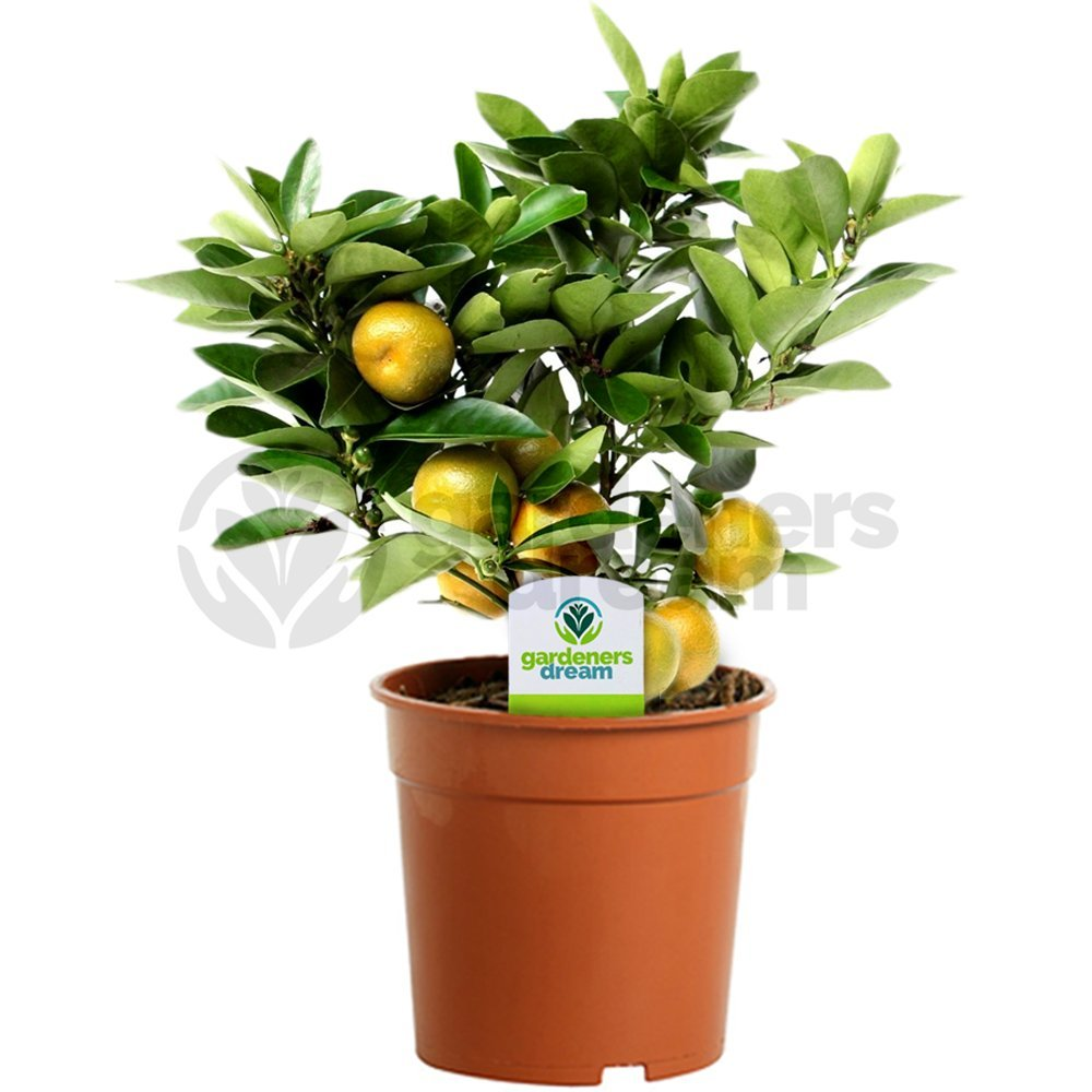 Citrus Calamondin - 1 Plant - House / Office Live Indoor Pot Plant Tree In 12cm Pot GardenersDream
