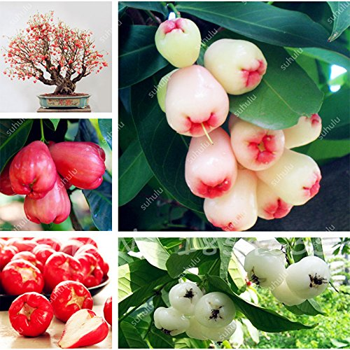 50 Pcs Wax Seeds Tropical Fruit Tree Seeds, Planting is Simple, Novel Plants for Home Garden sementes raras de frutas