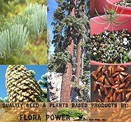 Amazoncom Red Fir California Red Fir Tree Seeds Abies