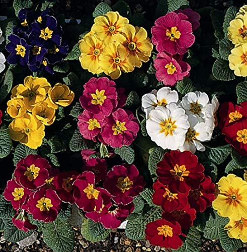 Go Garden Polyanthus  Regal Mixed  10 Seeds
