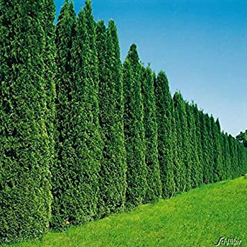30 Stuck Thuja Occidentalis Smaragd Fur 15 Meter Hecke Lebensbaum