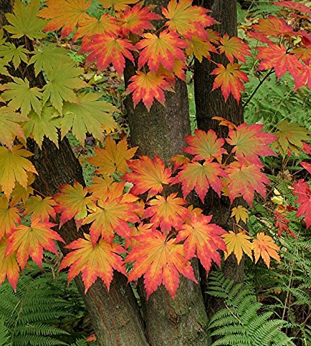(Korean Maple - Tolerates Extreme Cold, Surviving In Climates Where Japanese Maples Cannot, Hardy to -40F - 2 Year Live Plant)
