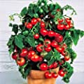 Tiny Tim dwarf cherry tomato 60+ fresh organic seed for 2018