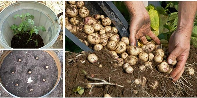 SummerRio 50 unids Semillas de Patata Plantas Perennes Siembra ...