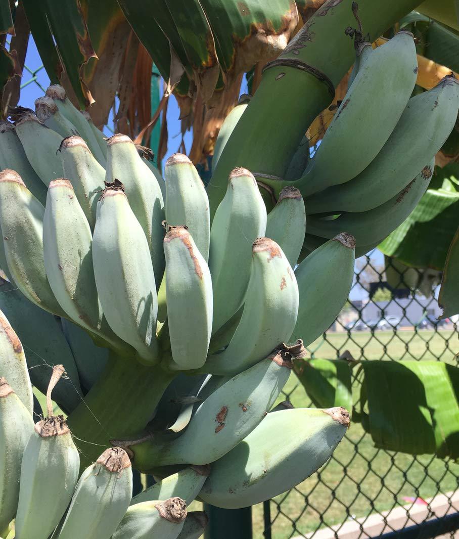 Musa Ice Cream ''Blue Java'' live Banana plant fruit tree