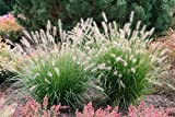 100PC High import Pennisetum Seed. Garden, green on both sides of the road, Plant Grass Seeds