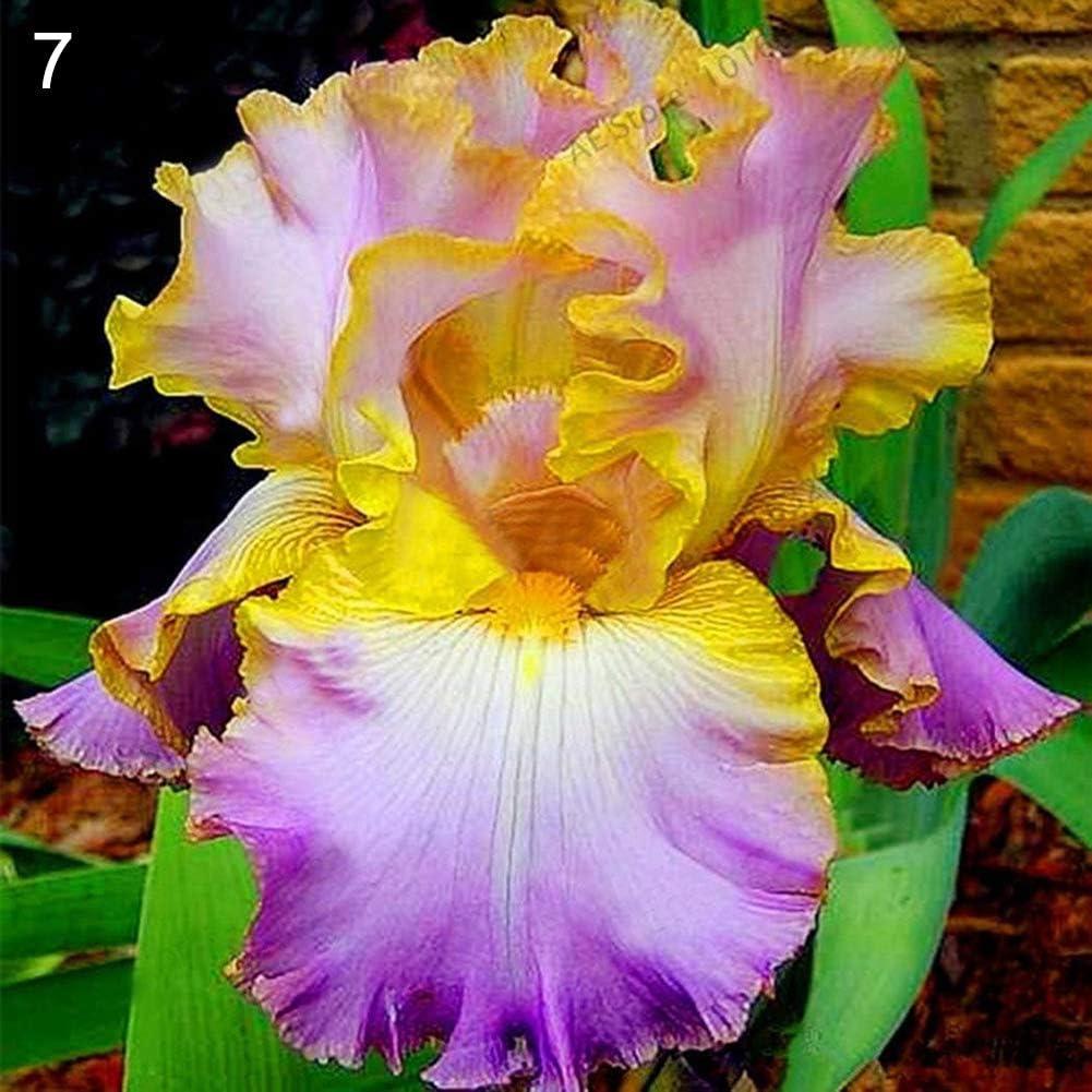lamta1k 50 Piezas Flor Iris Tectorum Semillas Calidad de Plantas Ornamentales y Alta tasa de Supervivencia Home Garden Yard Decoración de Oficina - 7 Iris Tectorum Semillas